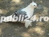Vand porumbei creti francezi capaciti si albi - imagine 8