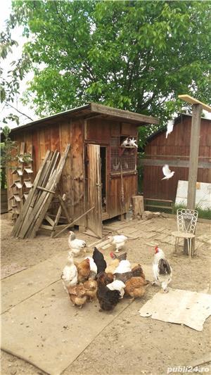 Inchiriez porumbei albi pentru nunti sau alte evenimente - imagine 2