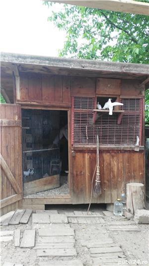 Inchiriez porumbei albi pentru nunti sau alte evenimente - imagine 1