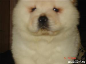vand pui CHOW-CHOW, rasa pura , pt. CUNOSCATORI!!! poze reale , detin parintii... - imagine 4