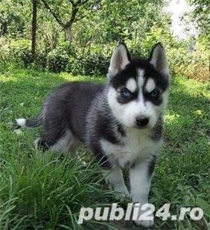 Husky de vanzare!! - imagine 1