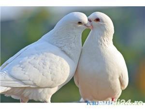 Porumbei albi de nunta  - imagine 1