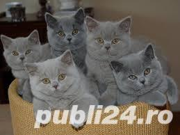 British shorthair - imagine 2