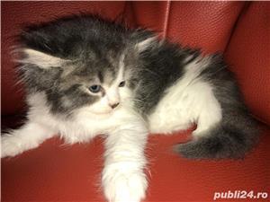 vand pui pisica norvegiana de padure de calitate crescuti in casa  - imagine 7