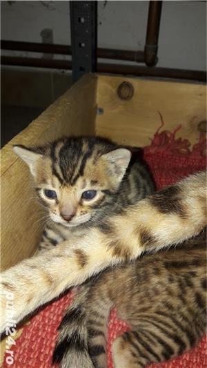 Pisicute savannah  - imagine 6