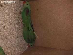 Papagali - imagine 3