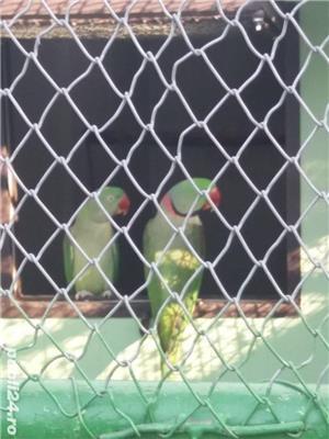 Papagali - imagine 4