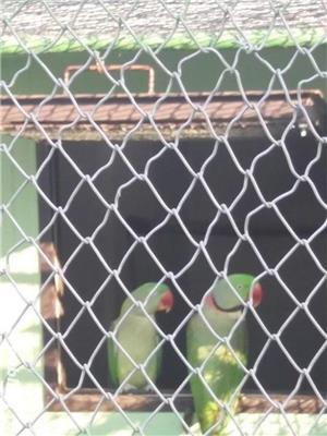 Papagali - imagine 1