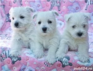 Pui westie cu pedigreeA - imagine 4