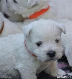 Pui westie cu pedigreeA - imagine 8
