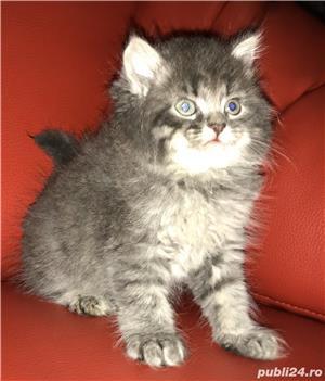 vand pui pisica norvegiana de padure de calitate crescuti in casa  - imagine 6