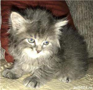 vand pui pisica norvegiana de padure de calitate crescuti in casa  - imagine 9