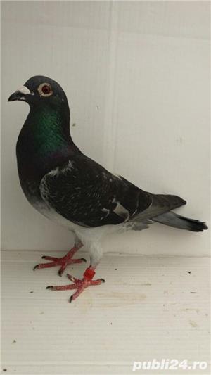 Porumbei voiajori - imagine 4