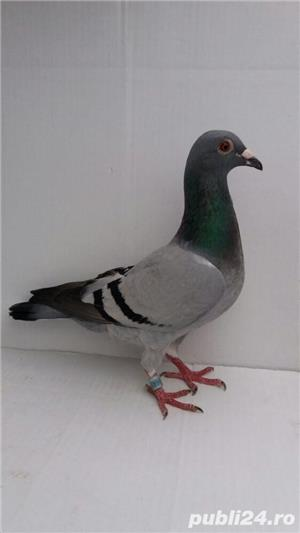 Porumbei voiajori - imagine 8