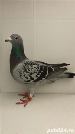 Porumbei voiajori - imagine 12