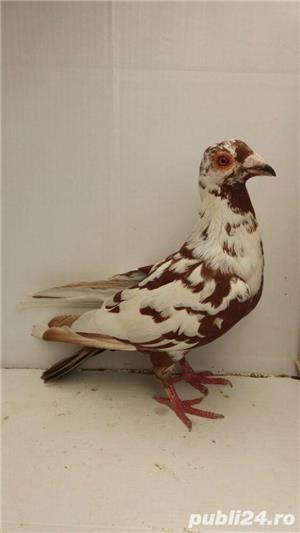 Porumbei voiajori - imagine 14