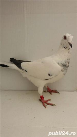 Porumbei voiajori - imagine 15