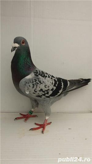 Porumbei voiajori - imagine 16