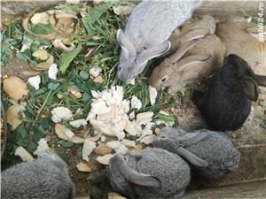 Vand iepuri metis urias german  - imagine 3