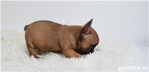 Bulldog francez baietel si femela - imagine 2