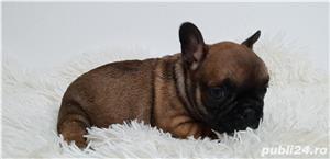 Bulldog francez baietel si femela - imagine 4