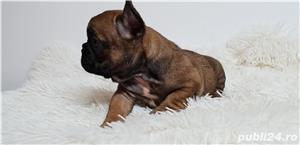 Bulldog francez baietel si femela - imagine 3