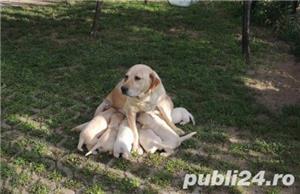Catei labrador retriever aurii - imagine 3