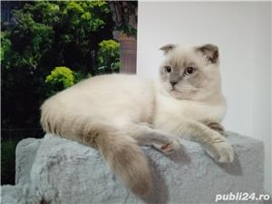 Motan scottish fold de 1 an si 10 luni  caut partenera - imagine 1