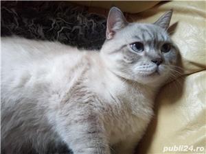 Motanel British Shorthair Chinhilla caut partenera iubitoare - imagine 3