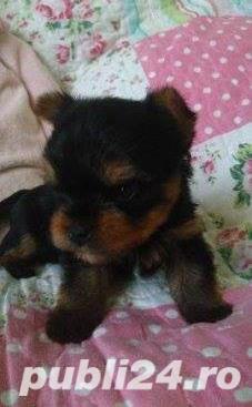 De vanzare yorki/yorkie/yorkshire terrier - imagine 3