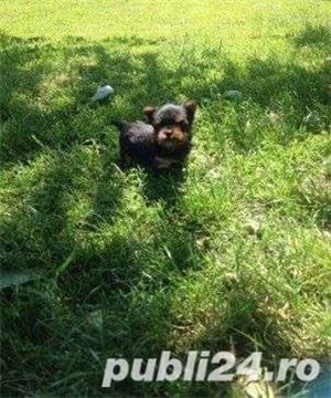 De vanzare yorki/yorkie/yorkshire terrier - imagine 1