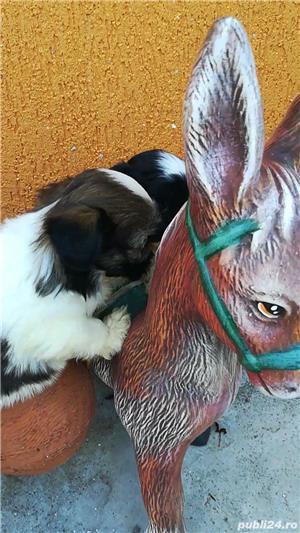 Bichon rasă pură talie mică - imagine 1