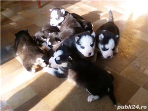 Pui superbi de Husky siberian.,  - imagine 8
