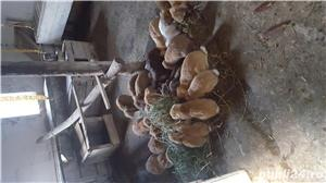 iepuri  de vazare - imagine 2