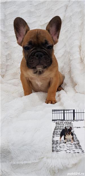 Femela bulldog francez! - imagine 1