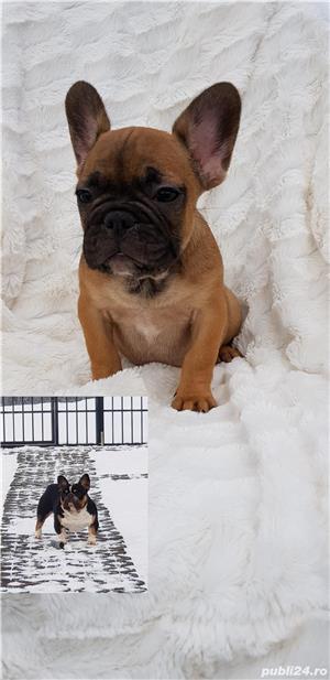 Femela bulldog francez! - imagine 4