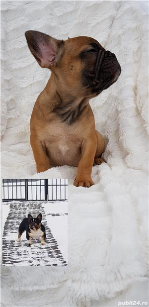 Femela bulldog francez! - imagine 6
