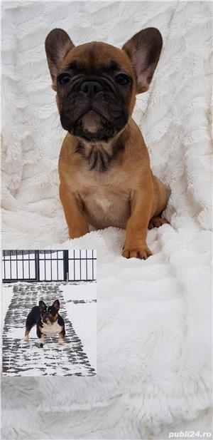 Femela bulldog francez! - imagine 3