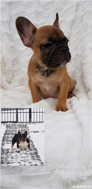 Femela bulldog francez! - imagine 2