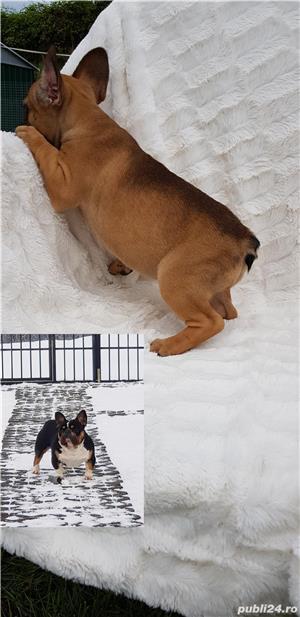 Femela bulldog francez! - imagine 5