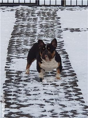 Femela bulldog francez! - imagine 7