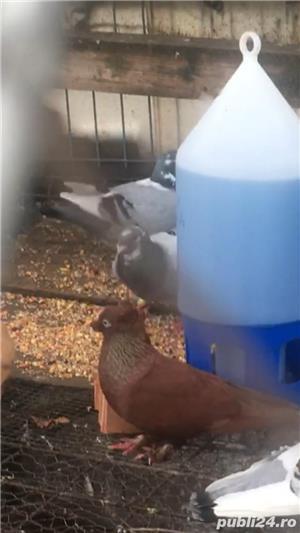 Porumbei de vanzare  - imagine 2