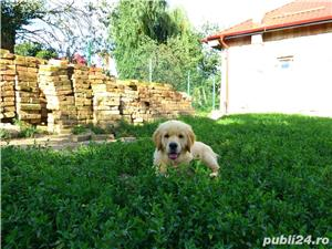 vand pui de golden retriever - imagine 2