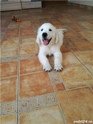 vand pui de golden retriever - imagine 6