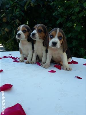Pui beagle  - imagine 4