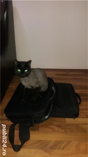 Tund pisici la domiciliul dvs Vaslui - imagine 1