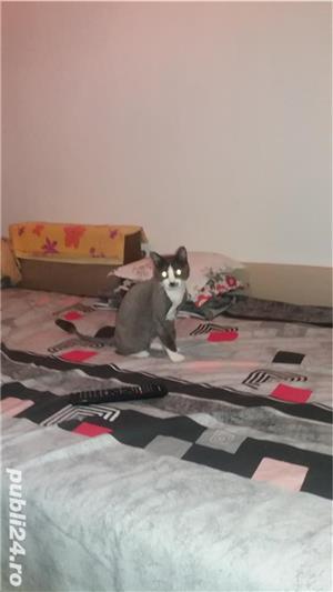 Tund pisici la domiciliul dvs Vaslui - imagine 2