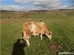 Vand 2 vaci  tinere cu 2 vitele de 7 luni fiecare - imagine 1
