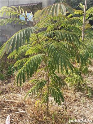 Arbore de matase (albizia) 1.8-2 m - imagine 1