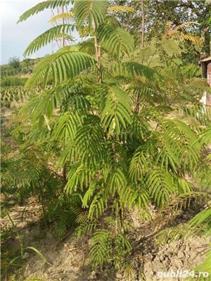 Arbore de matase (albizia) 1.8-2 m - imagine 2